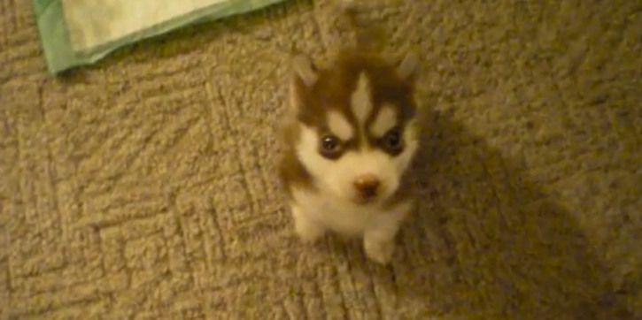Cutest Smartest Puppy Ever Watch This Tiny Siberian Husky Pup Sit